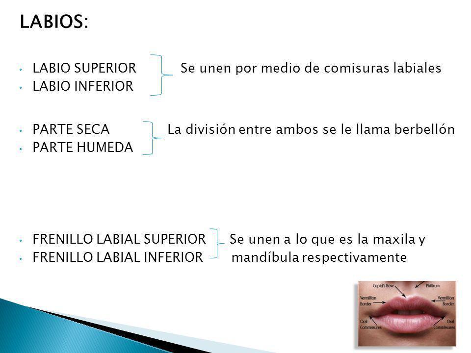 LABIOS: LABIO SUPERIOR Se unen por medio de comisuras labiales