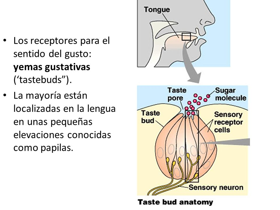 Los receptores para el sentido del gusto: yemas gustativas ('tastebuds ).