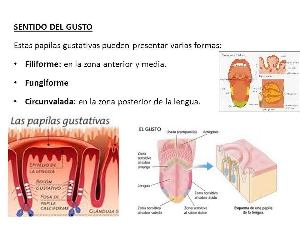 SENTIDO DEL GUSTO Estas papilas gustativas pueden presentar varias formas: Filiforme: en la zona anterior y media.