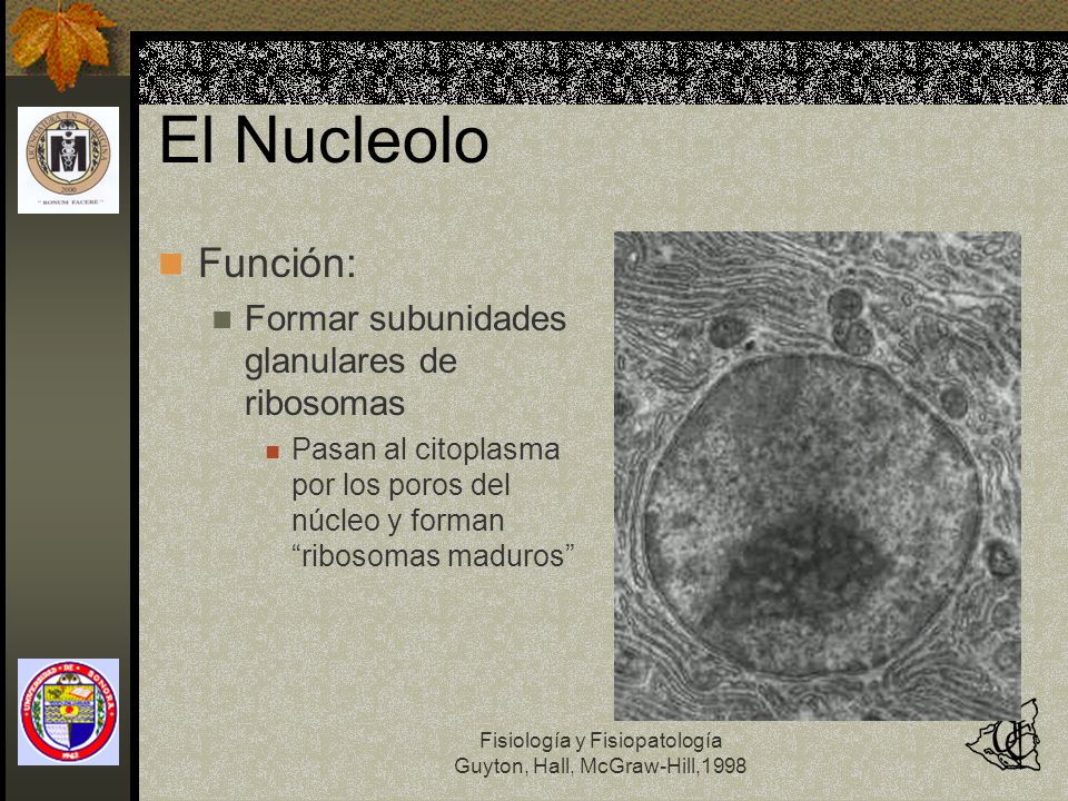 El Nucleolo Función: Formar subunidades glanulares de ribosomas