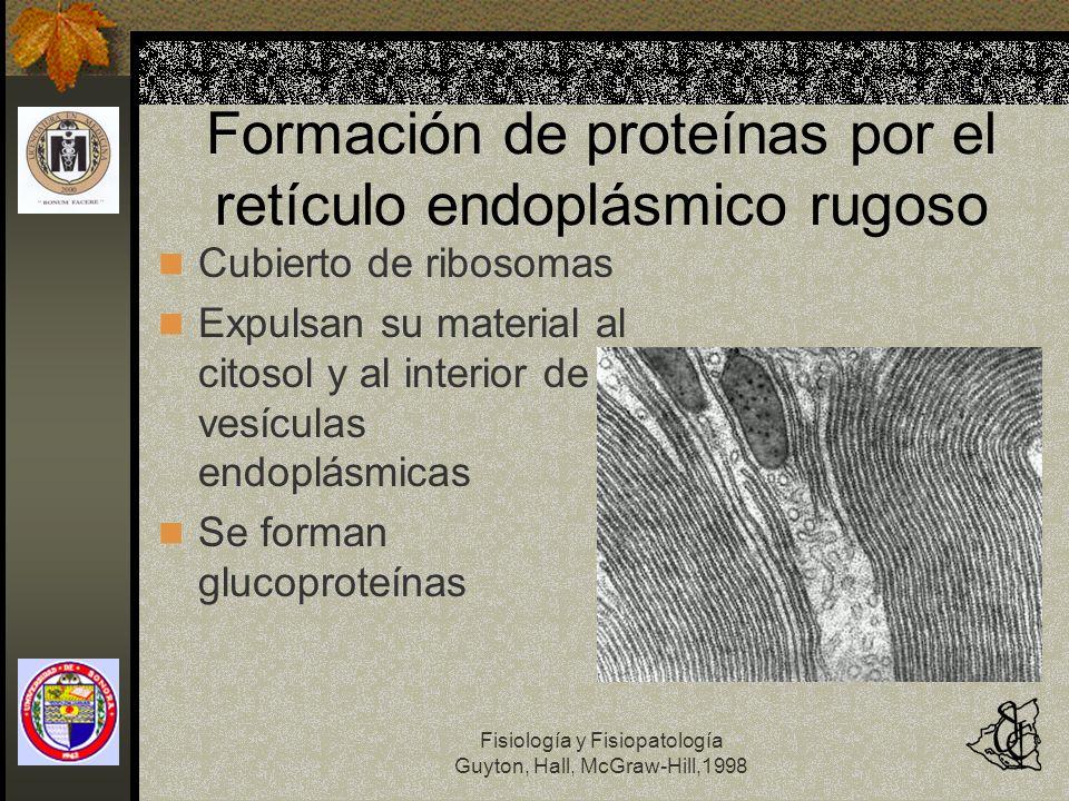 Formación de proteínas por el retículo endoplásmico rugoso
