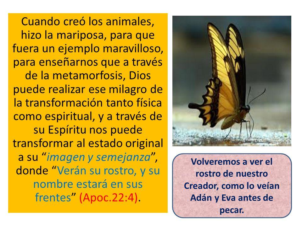 Cuando creó los animales, hizo la mariposa, para que fuera un ejemplo maravilloso, para enseñarnos que a través de la metamorfosis, Dios puede realizar ese milagro de la transformación tanto física como espiritual, y a través de su Espíritu nos puede transformar al estado original a su imagen y semejanza , donde Verán su rostro, y su nombre estará en sus frentes (Apoc.22:4).