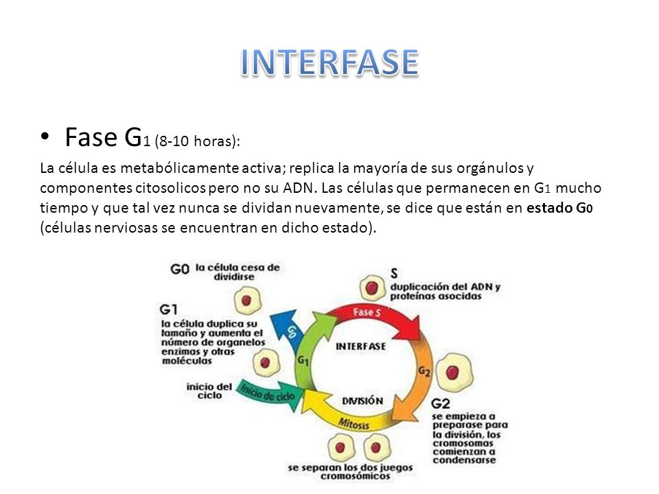 INTERFASE Fase G1 (8-10 horas):