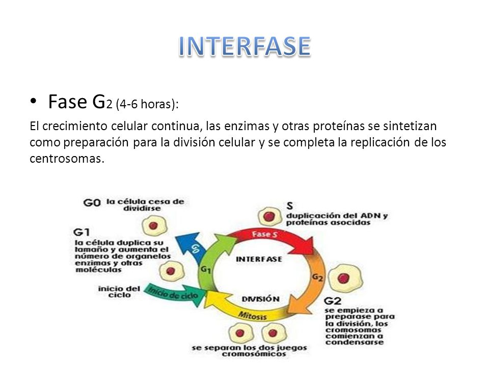 INTERFASE Fase G2 (4-6 horas):