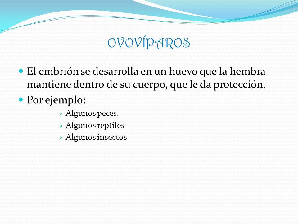 OVOVÍPAROS El embrión se desarrolla en un huevo que la hembra mantiene dentro de su cuerpo, que le da protección.