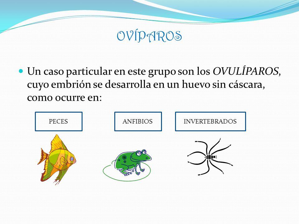 OVÍPAROS Un caso particular en este grupo son los OVULÍPAROS, cuyo embrión se desarrolla en un huevo sin cáscara, como ocurre en: