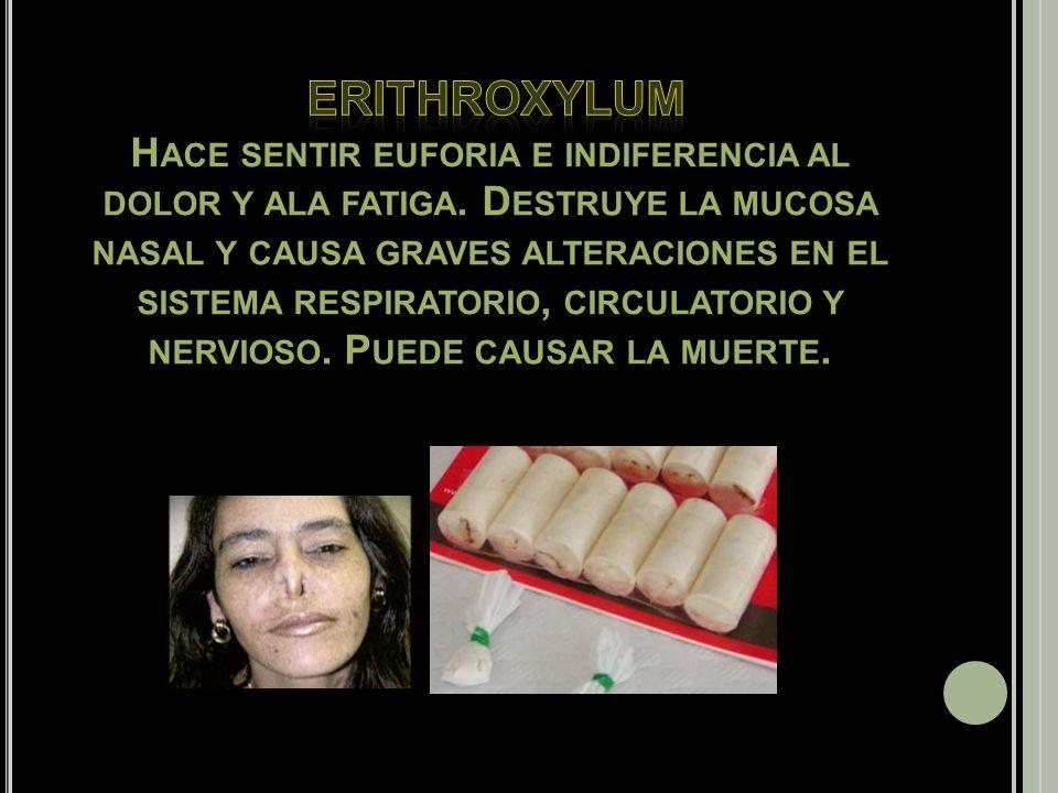 erithroxylum Hace sentir euforia e indiferencia al dolor y ala fatiga