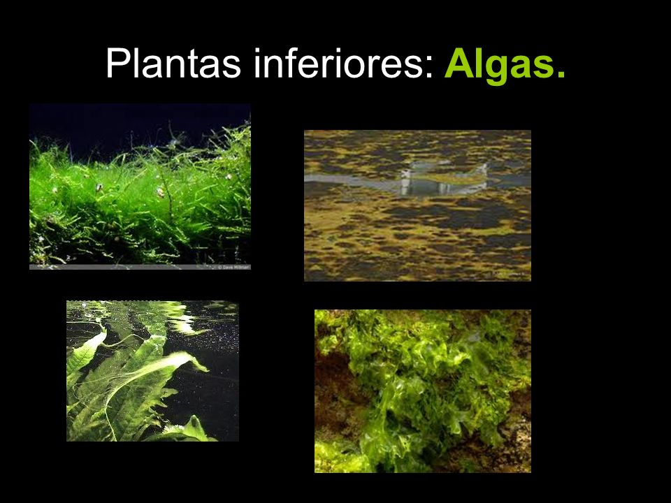 Plantas inferiores: Algas.
