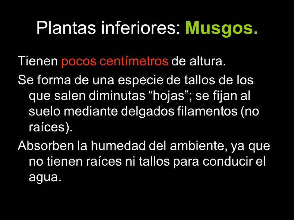 Plantas inferiores: Musgos.