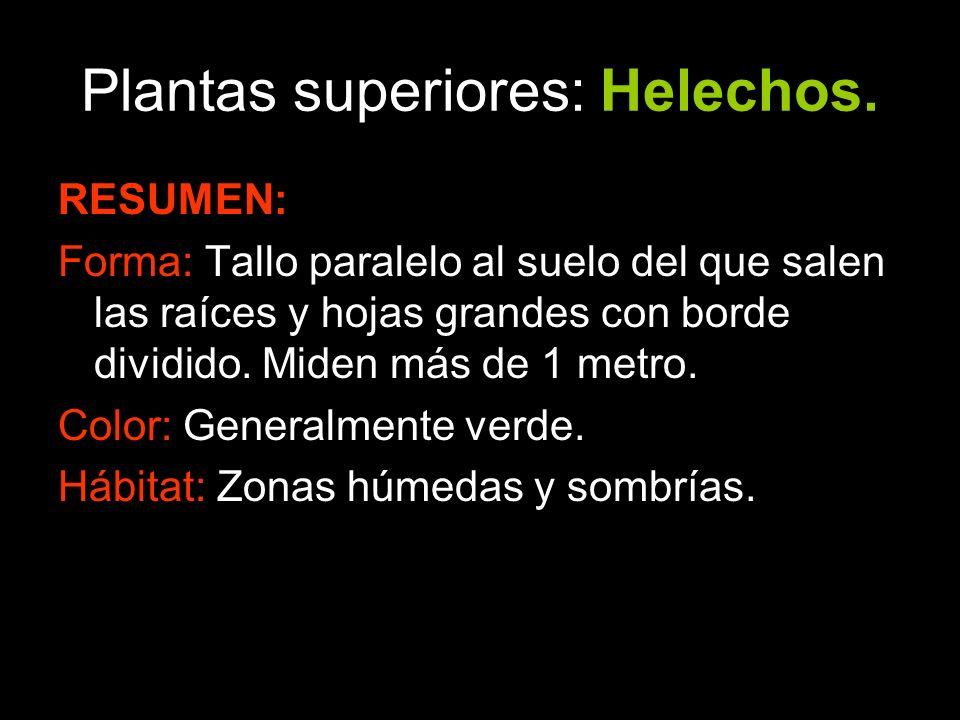 Plantas superiores: Helechos.