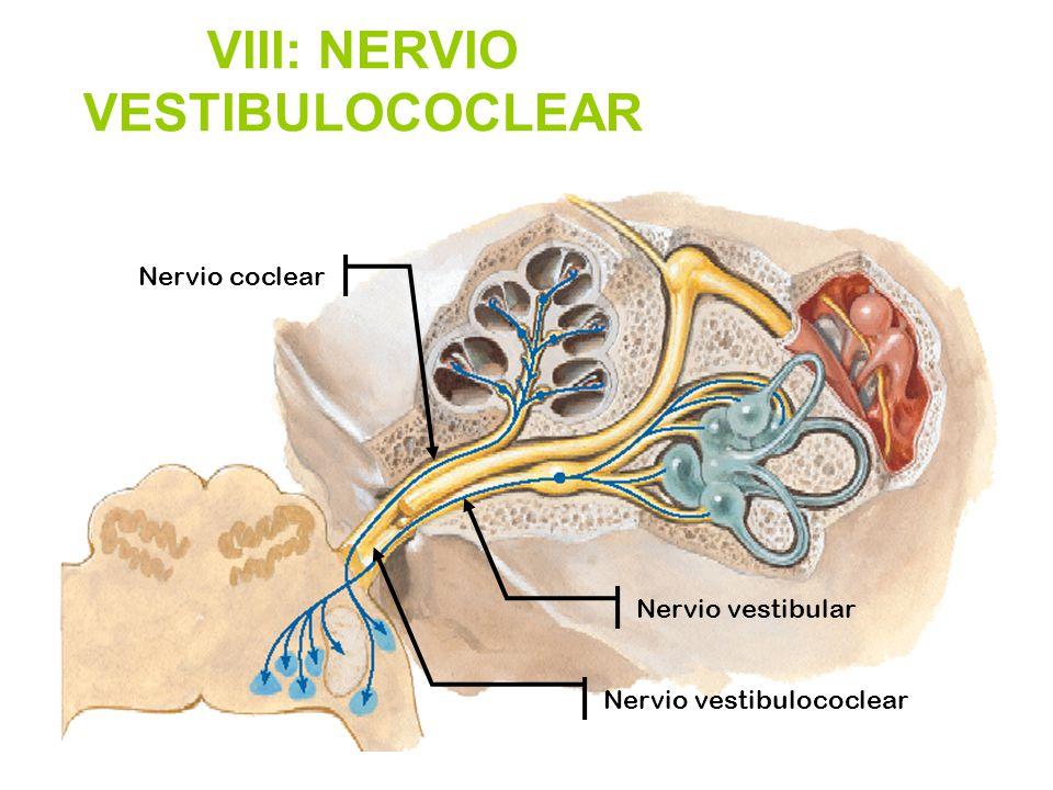 Famoso Anatomía Del Nervio Vestíbulo Coclear Galería - Anatomía de ...