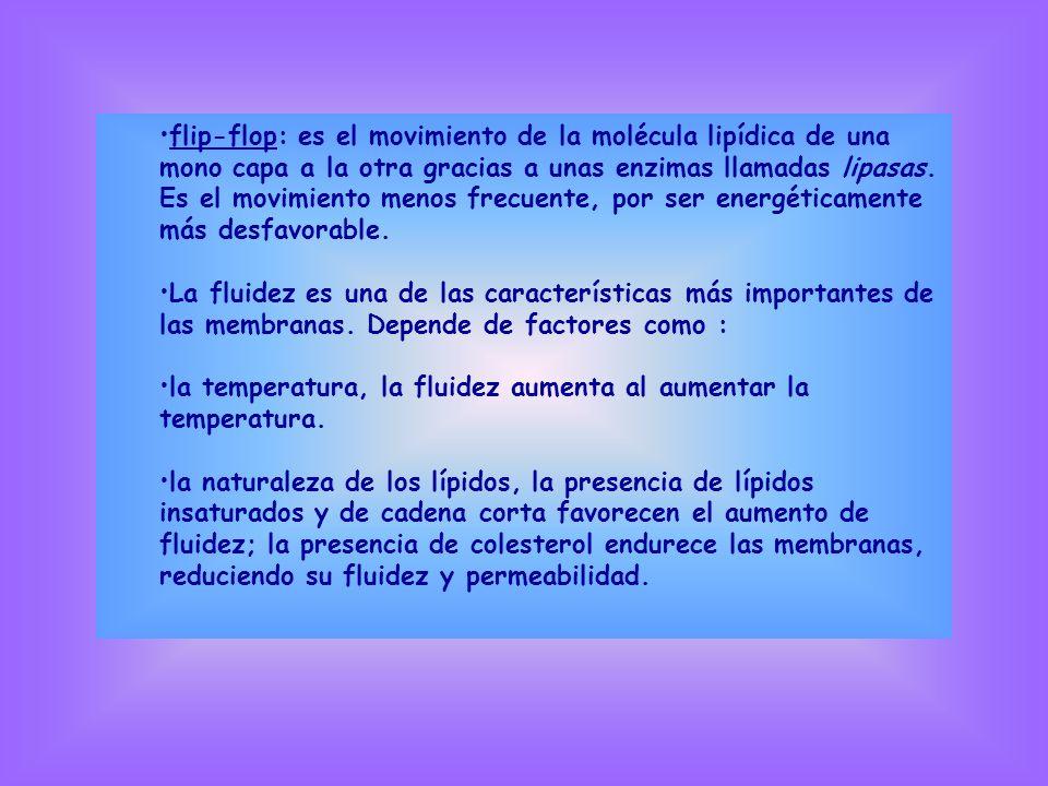 flip-flop: es el movimiento de la molécula lipídica de una mono capa a la otra gracias a unas enzimas llamadas lipasas. Es el movimiento menos frecuente, por ser energéticamente más desfavorable.