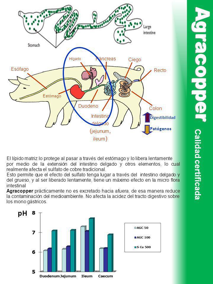 Intestino delgado (jejunum, ileum)