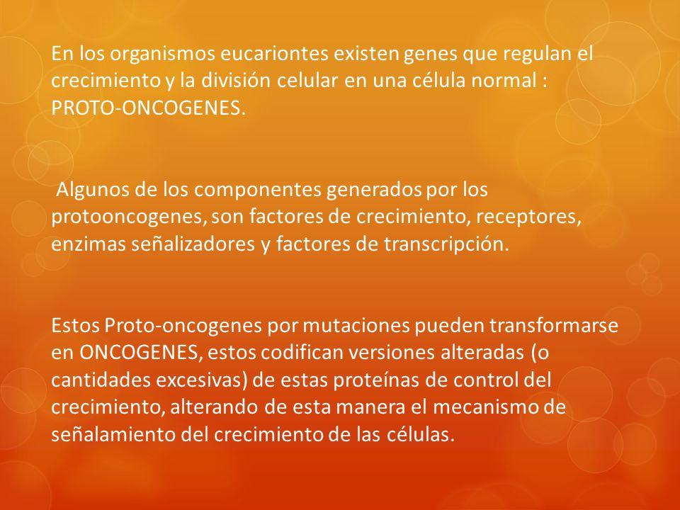 En los organismos eucariontes existen genes que regulan el crecimiento y la división celular en una célula normal : PROTO-ONCOGENES.