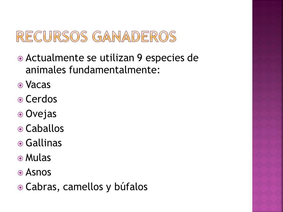 Recursos ganaderos Actualmente se utilizan 9 especies de animales fundamentalmente: Vacas. Cerdos.