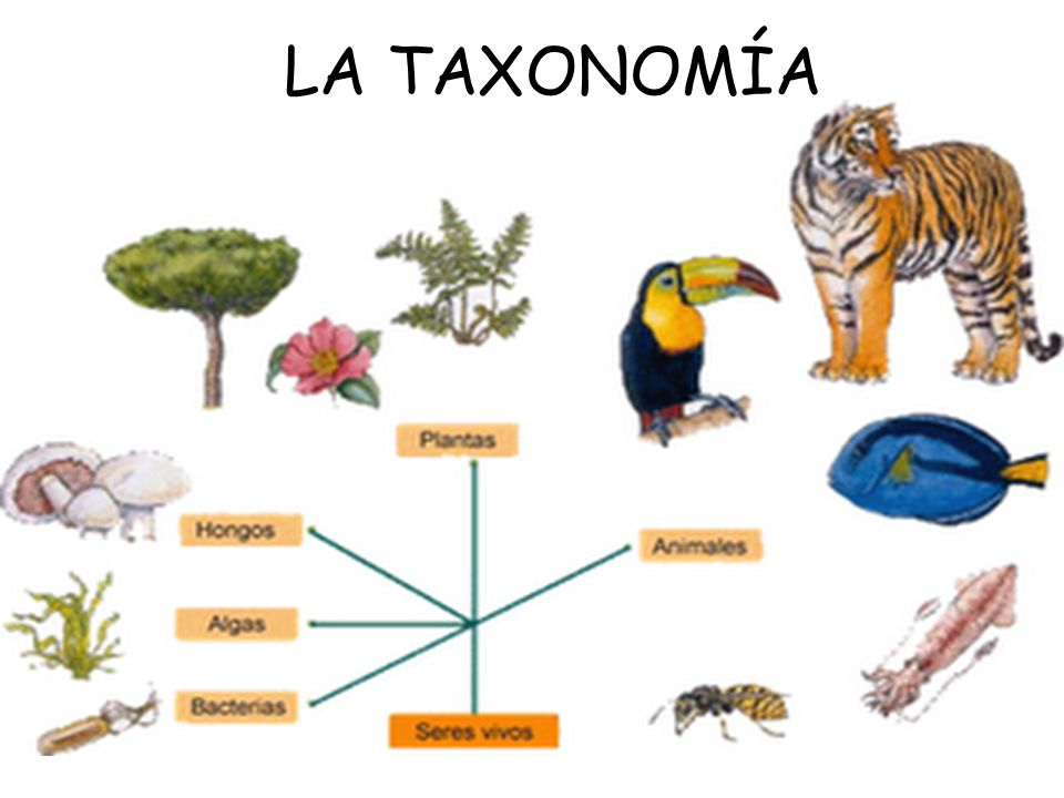 la taxonom a ppt video online descargar
