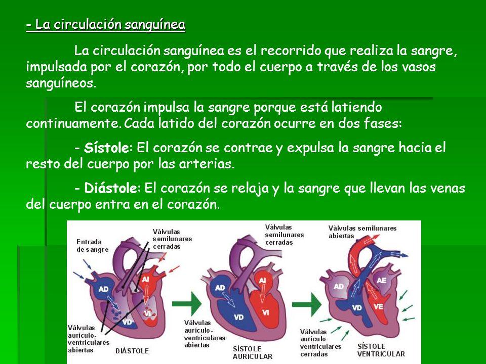 - La circulación sanguínea