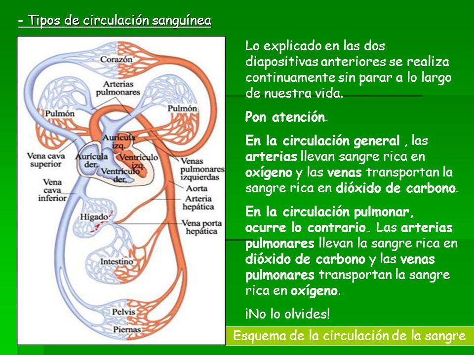 Esquema de la circulación de la sangre