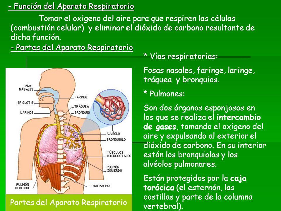 Partes del Aparato Respiratorio