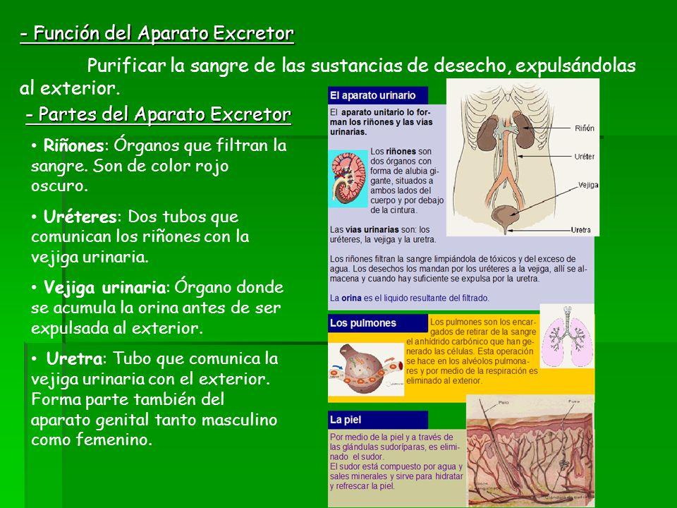 - Función del Aparato Excretor