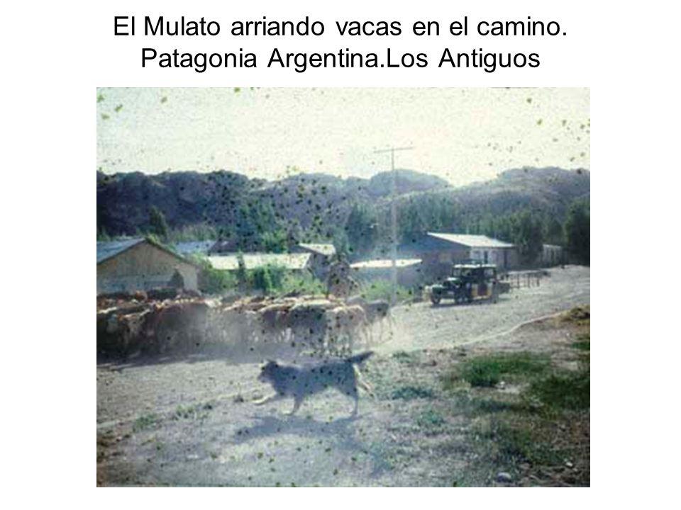 El Mulato arriando vacas en el camino. Patagonia Argentina