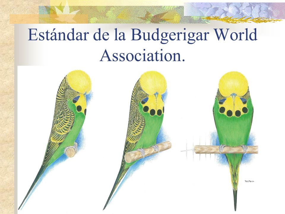 Estándar de la Budgerigar World Association.