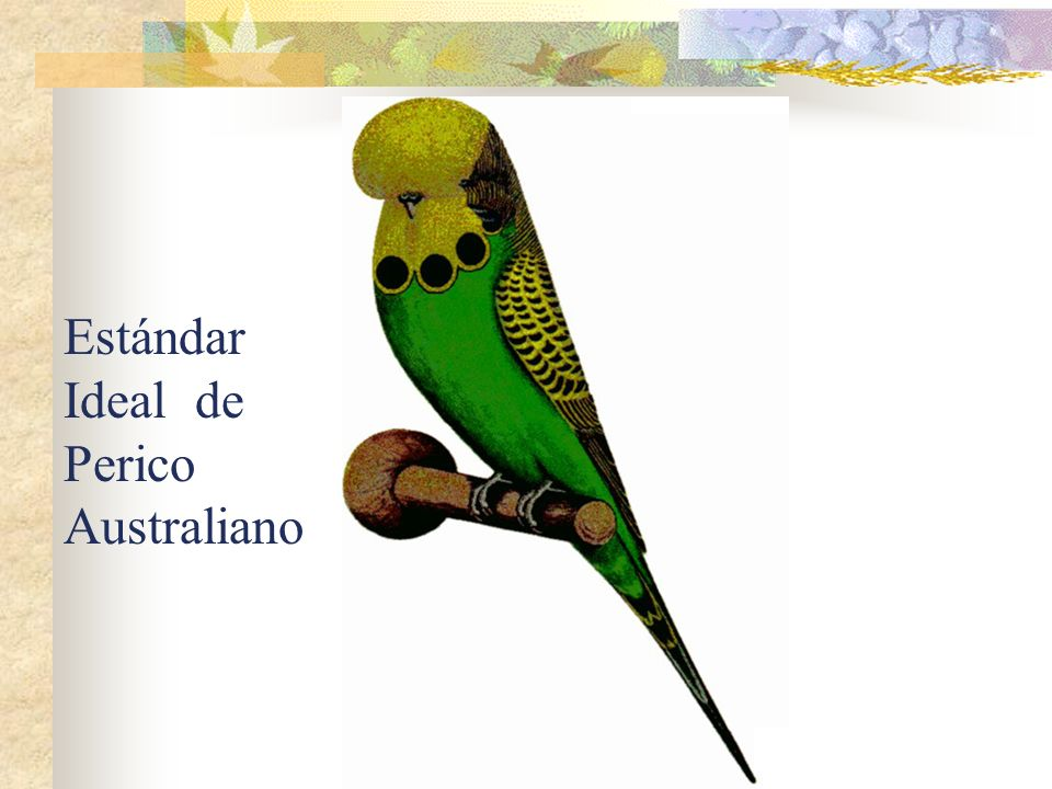 Estándar Ideal de Perico Australiano