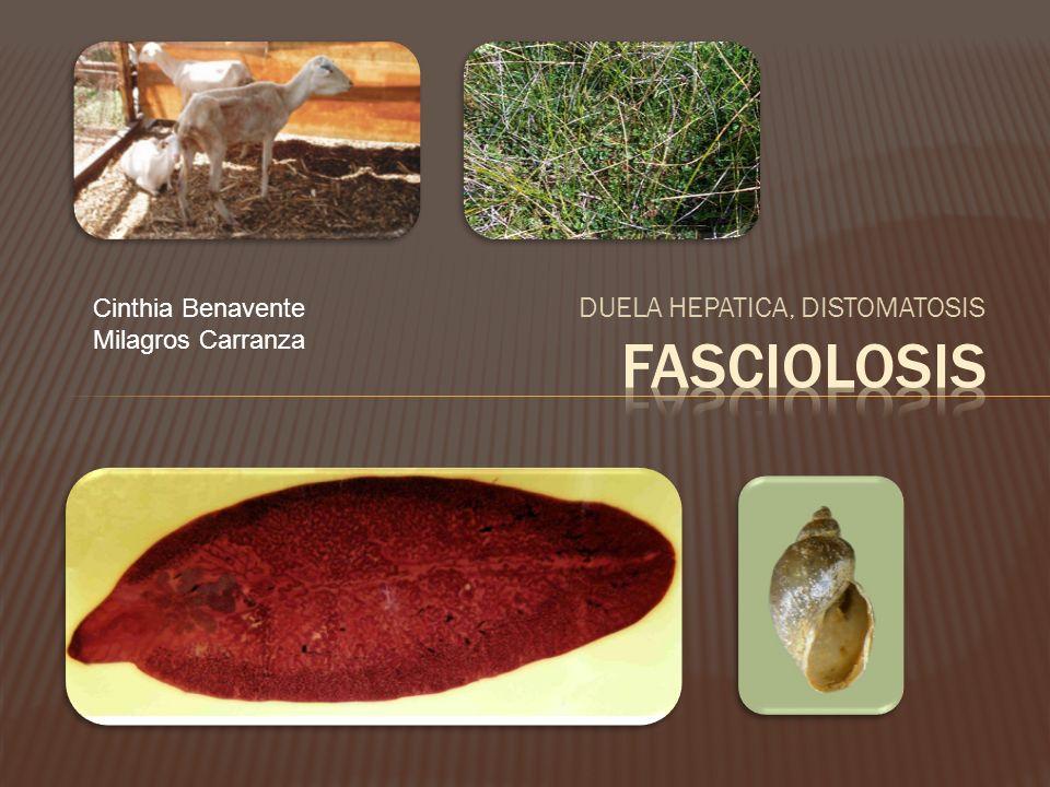 FASCIOLOSIS DUELA HEPATICA, DISTOMATOSIS Cinthia Benavente