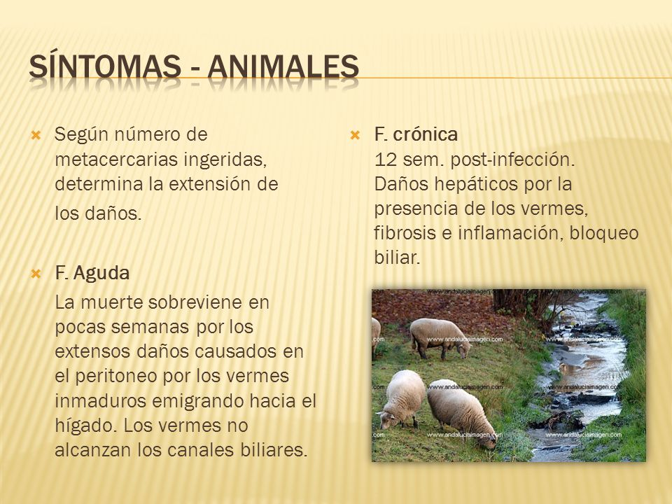 Síntomas - animales Según número de metacercarias ingeridas, determina la extensión de. los daños.