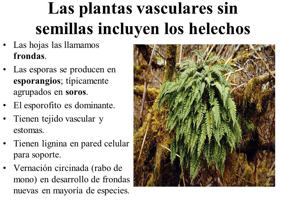 Prop sitos reconocer las caracter sticas m s importante for Plantas sin semillas
