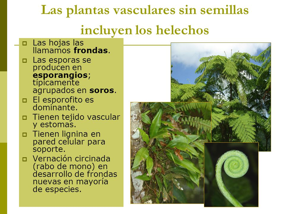 Reino metafitas ppt descargar for Plantas sin semillas