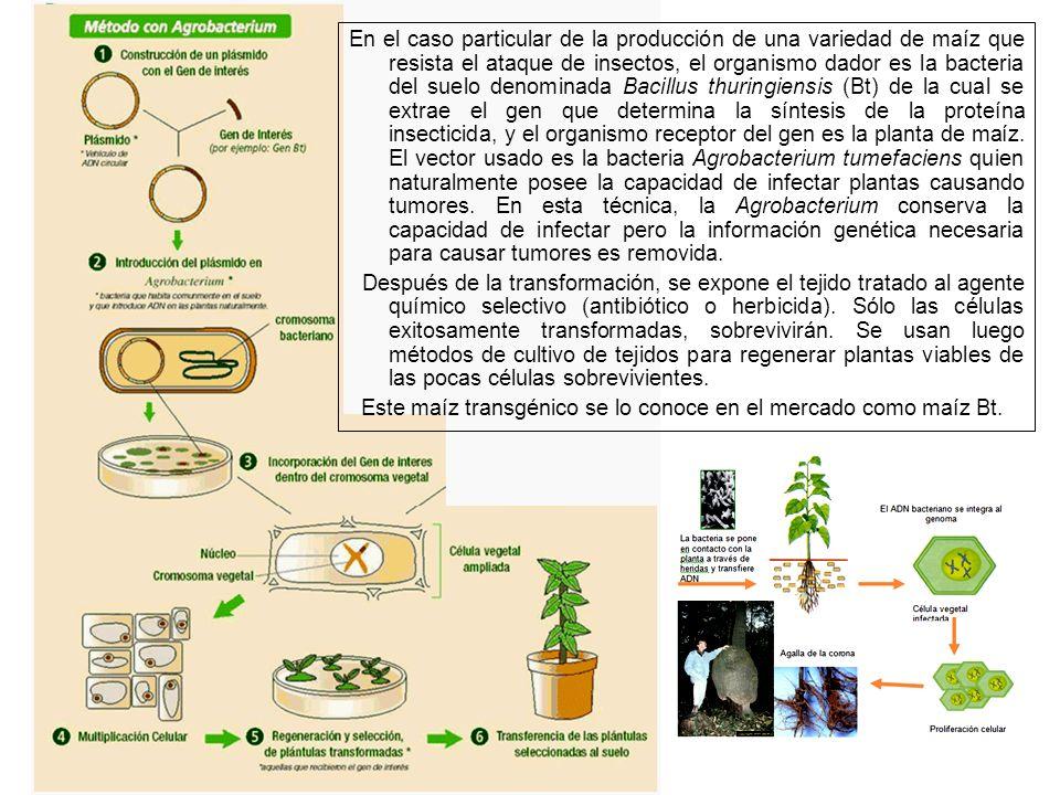Este maíz transgénico se lo conoce en el mercado como maíz Bt.