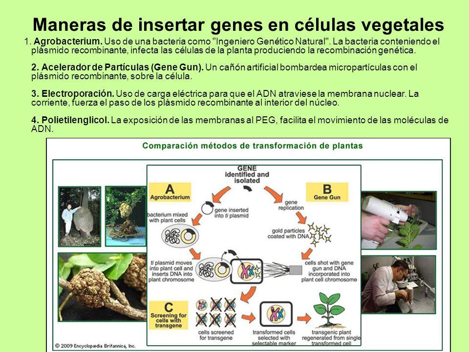 Maneras de insertar genes en células vegetales