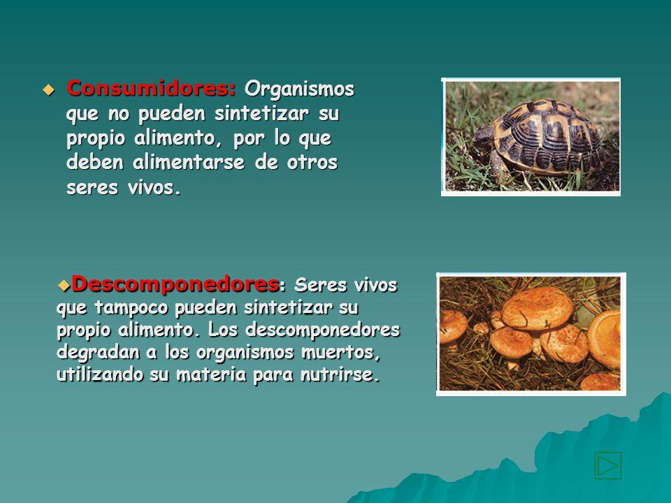 Consumidores: Organismos que no pueden sintetizar su propio alimento, por lo que deben alimentarse de otros seres vivos.