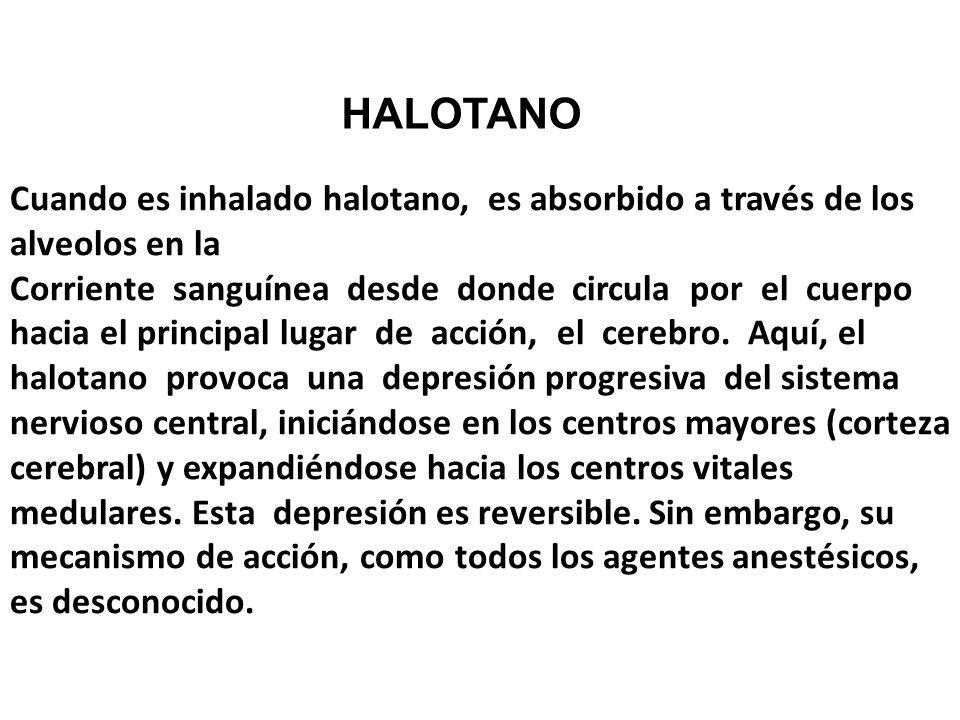 Cuando es inhalado halotano, es absorbido a través de los alveolos en la Corriente sanguínea desde donde circula por el cuerpo