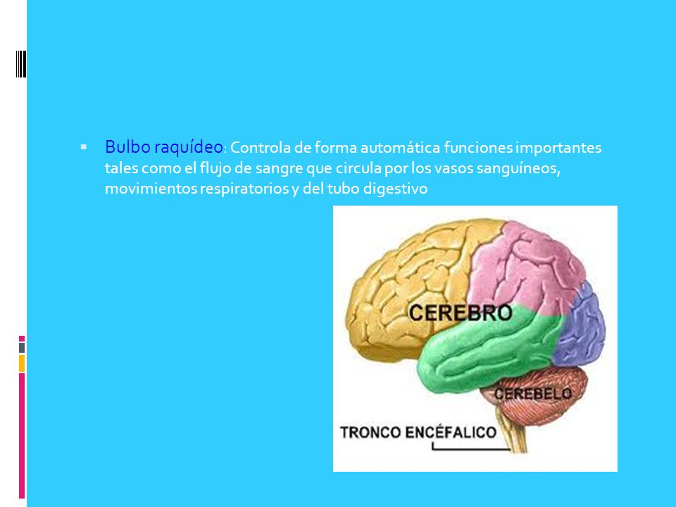 Bulbo raquídeo: Controla de forma automática funciones importantes tales como el flujo de sangre que circula por los vasos sanguíneos, movimientos respiratorios y del tubo digestivo
