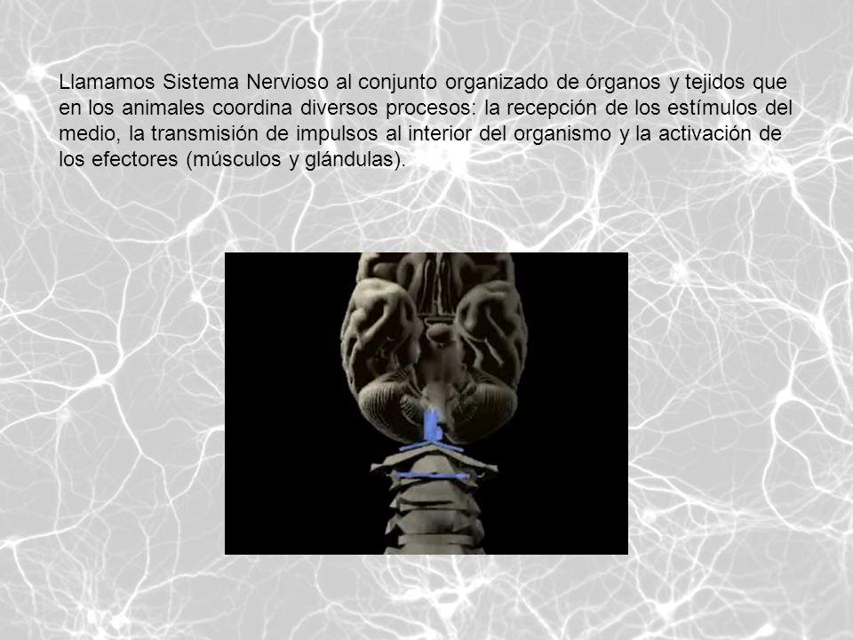 Llamamos Sistema Nervioso al conjunto organizado de órganos y tejidos que en los animales coordina diversos procesos: la recepción de los estímulos del medio, la transmisión de impulsos al interior del organismo y la activación de los efectores (músculos y glándulas).