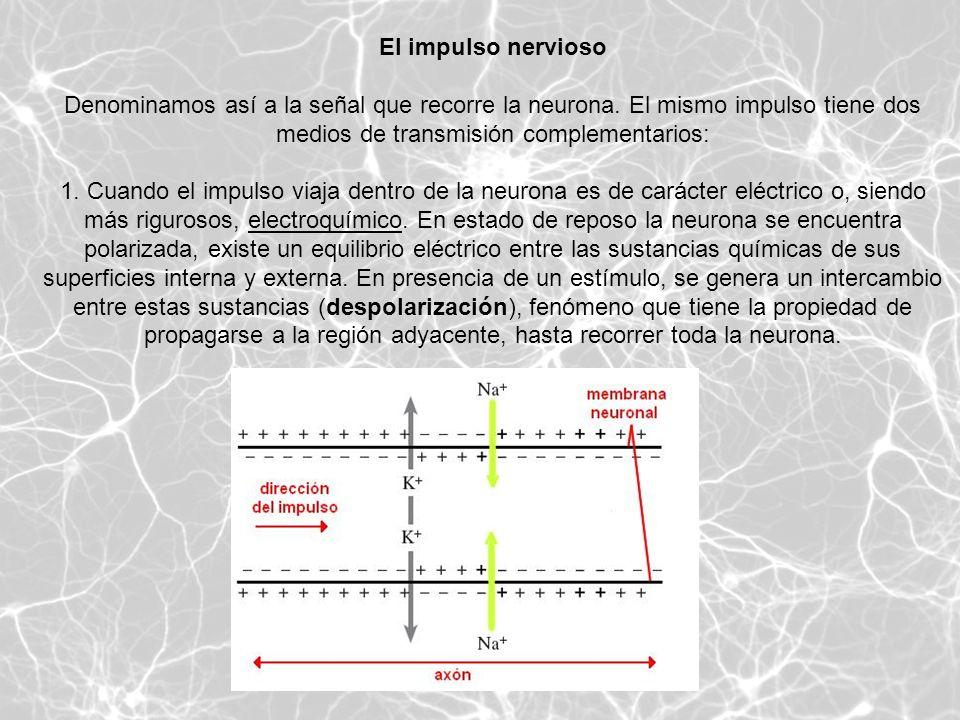El impulso nervioso Denominamos así a la señal que recorre la neurona. El mismo impulso tiene dos medios de transmisión complementarios: