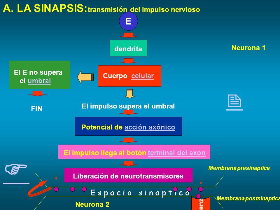   A. LA SINAPSIS:transmisión del impulso nervioso E