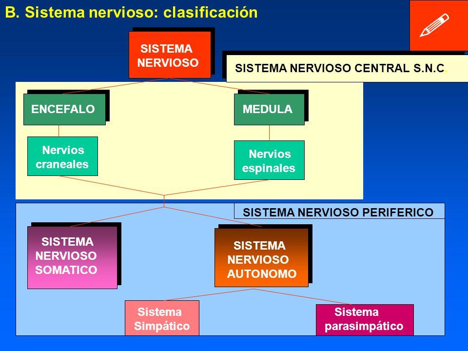 B. Sistema nervioso: clasificación SISTEMA NERVIOSO
