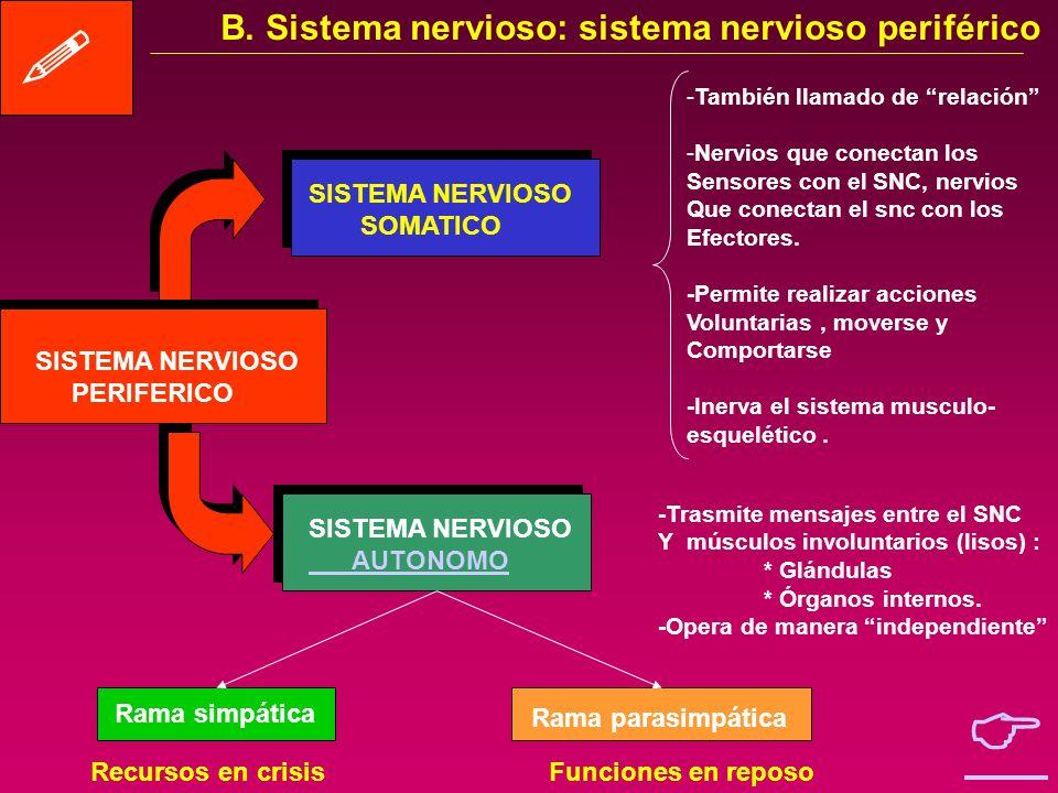   B. Sistema nervioso: sistema nervioso periférico SISTEMA NERVIOSO