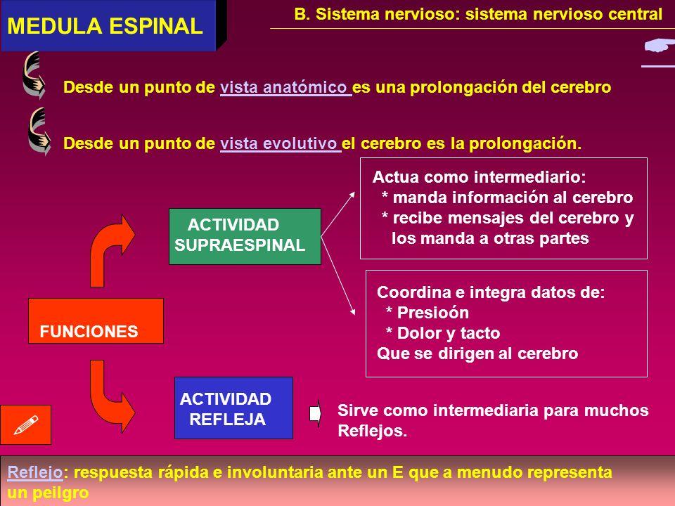   MEDULA ESPINAL B. Sistema nervioso: sistema nervioso central