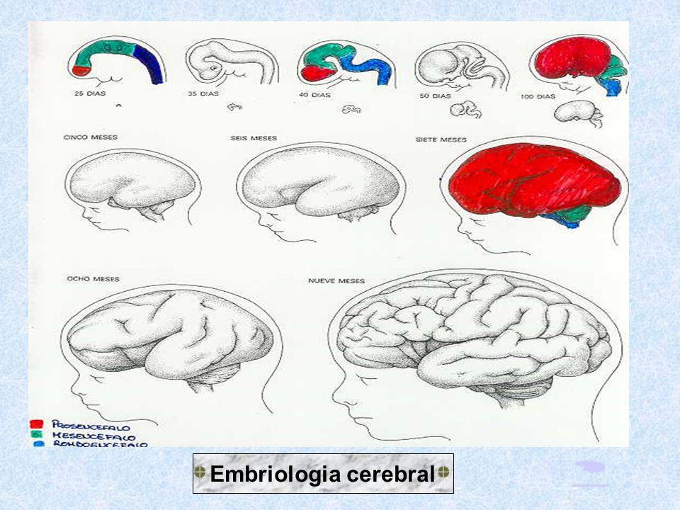  Embriologia cerebral