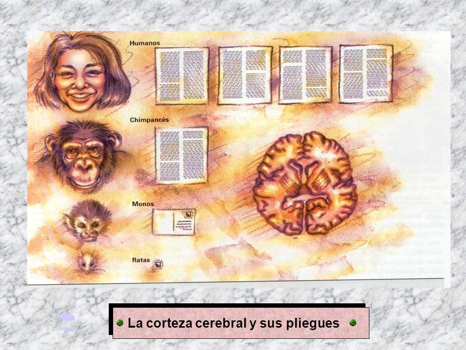  La corteza cerebral y sus pliegues