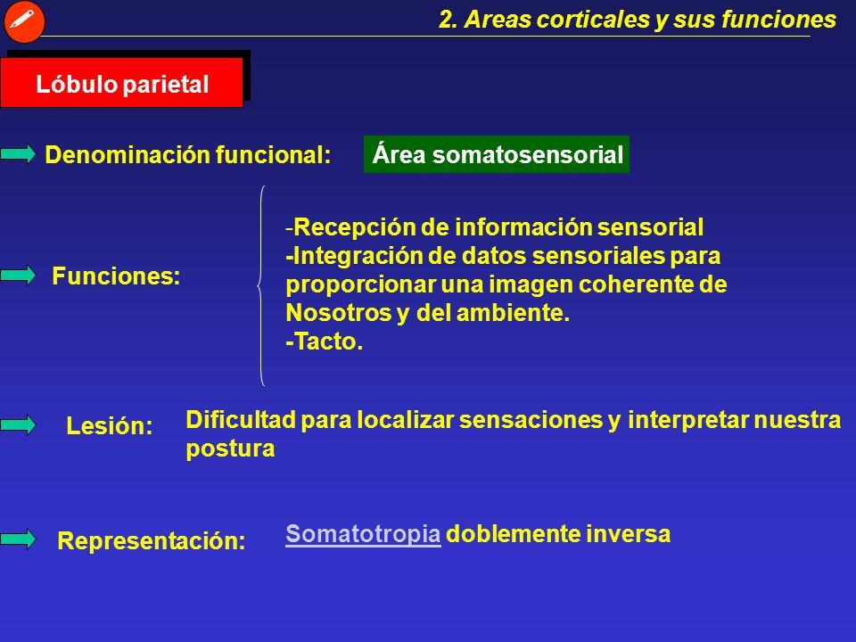 2. Areas corticales y sus funciones. Lóbulo parietal. Denominación funcional: Área somatosensorial.