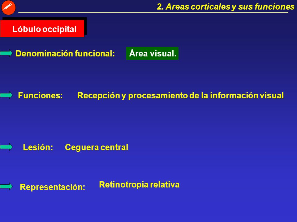  2. Areas corticales y sus funciones. Lóbulo occipital. Denominación funcional: Área visual. Funciones:
