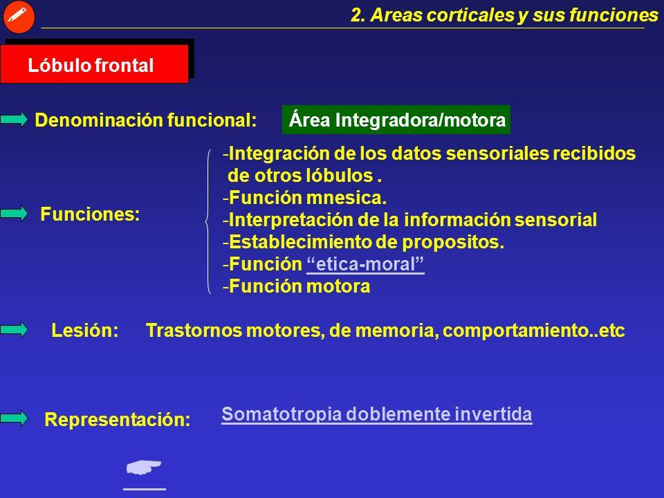   2. Areas corticales y sus funciones Lóbulo frontal