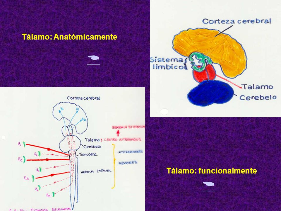 Tálamo: Anatómicamente