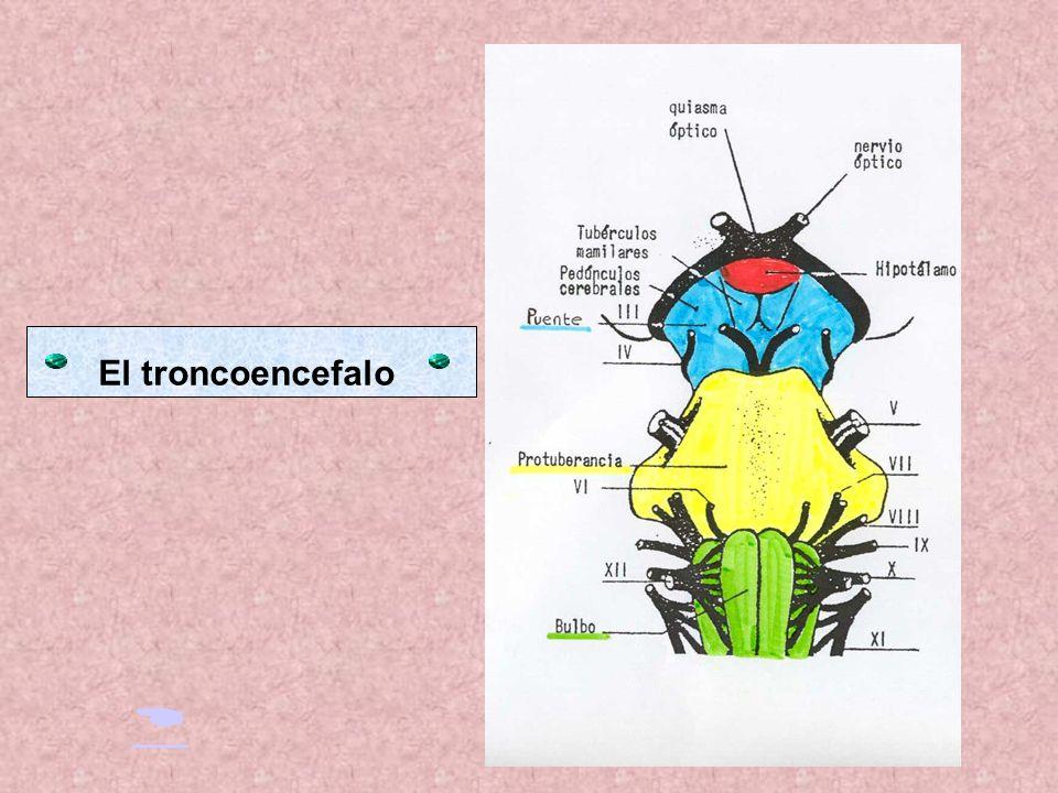 El troncoencefalo 