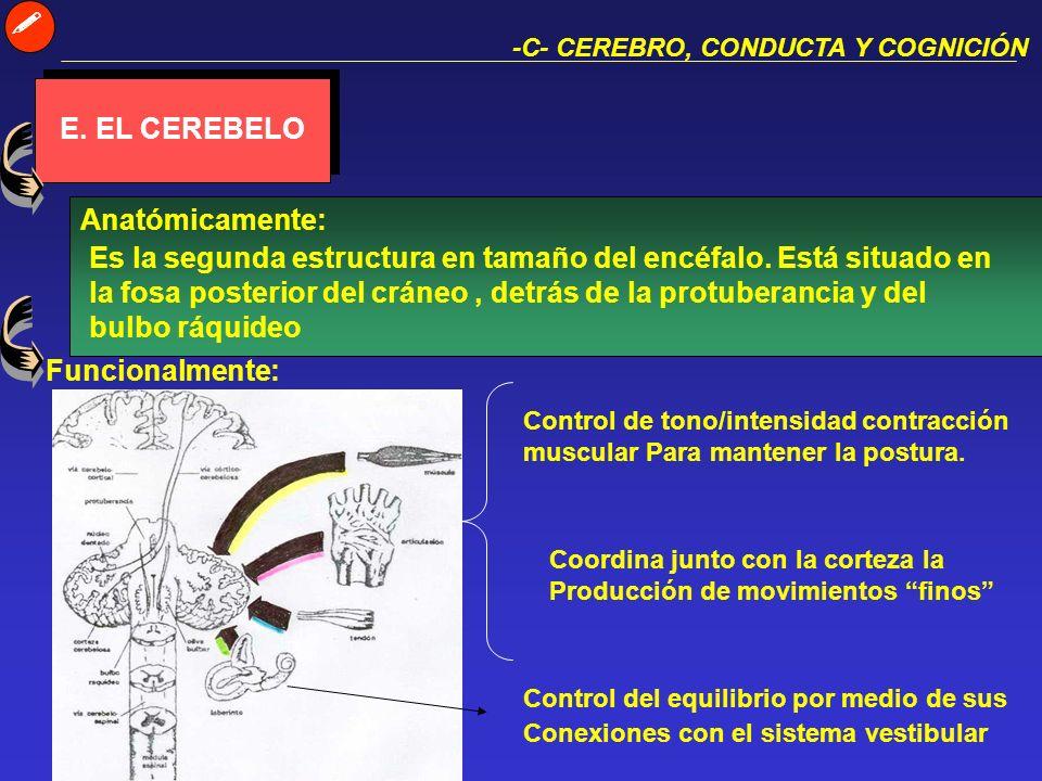  E. EL CEREBELO Anatómicamente: